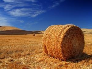 Будет порядка 10 тыс.тонн, тюкованой соломы