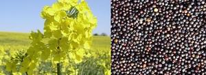 Закупаем семена рапса на экспорт